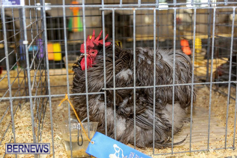 Poultry-Show-Bermuda-February-20-2016-31