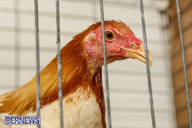 Poultry-Show-Bermuda-February-20-2016-5