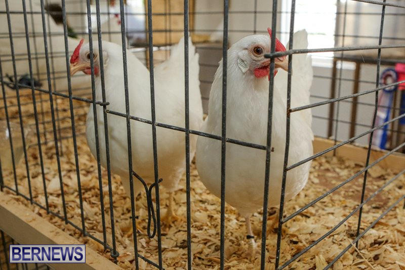 Poultry-Show-Bermuda-February-20-2016-66