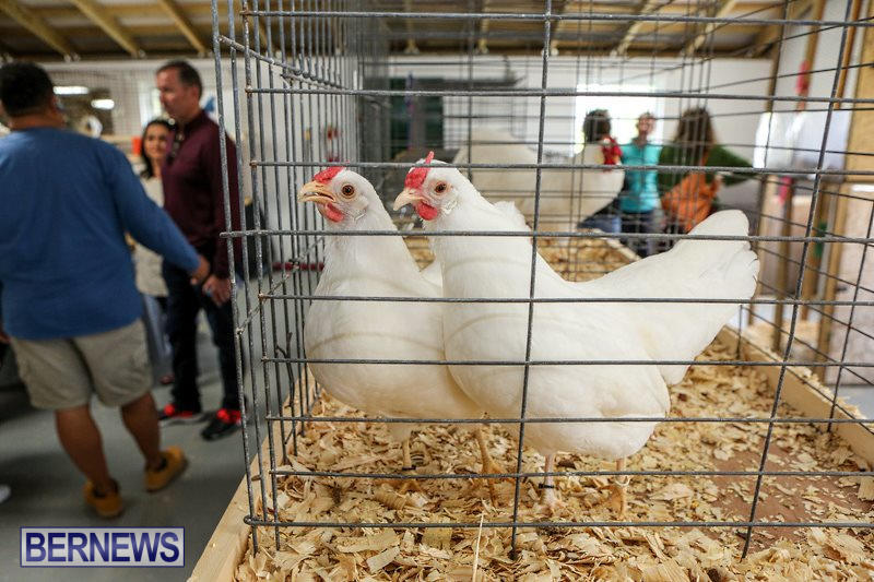 Poultry-Show-Bermuda-February-20-2016-67