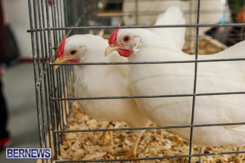 Poultry-Show-Bermuda-February-20-2016-68