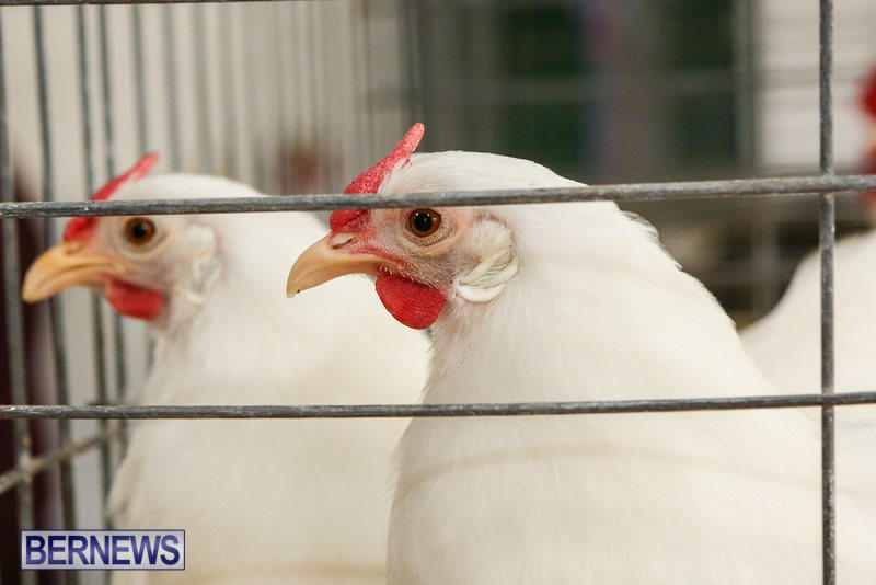 Poultry-Show-Bermuda-February-20-2016-70