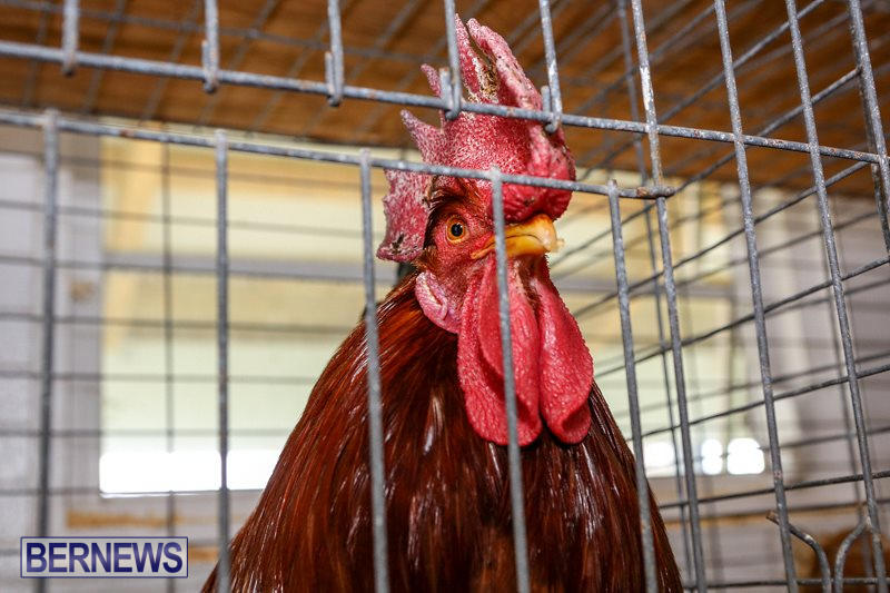 Poultry-Show-Bermuda-February-20-2016-78