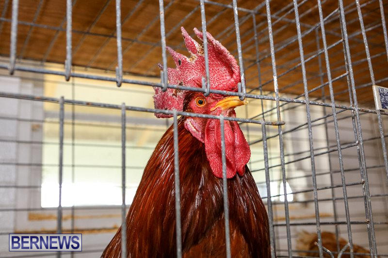 Poultry-Show-Bermuda-February-20-2016-79
