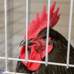 Poultry Show Bermuda, February 20 2016 (81)