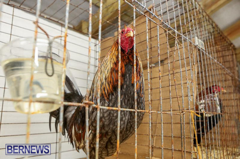 Poultry-Show-Bermuda-February-20-2016-84