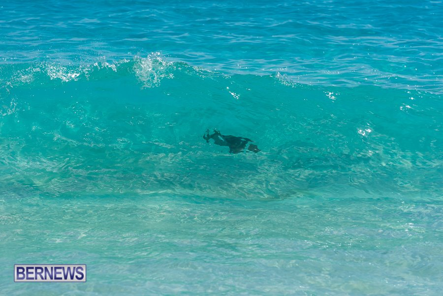 825 A parrot fish seen cruising through a wave on a sunny day