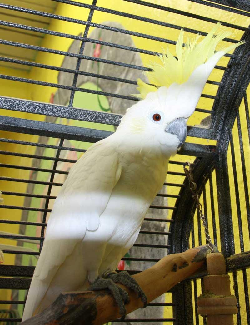 Cheesy - Cockatoo