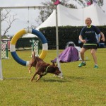 Dog Agility at 2016 ag show bermuda (10)