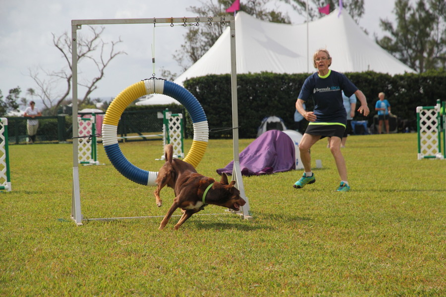 Dog-Agility-at-2016-ag-show-bermuda-10