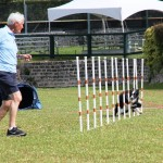 Dog Agility at 2016 ag show bermuda (11)