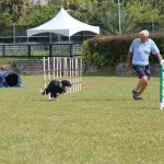 Dog Agility at 2016 ag show bermuda (12)