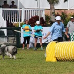 Dog Agility at 2016 ag show bermuda (15)
