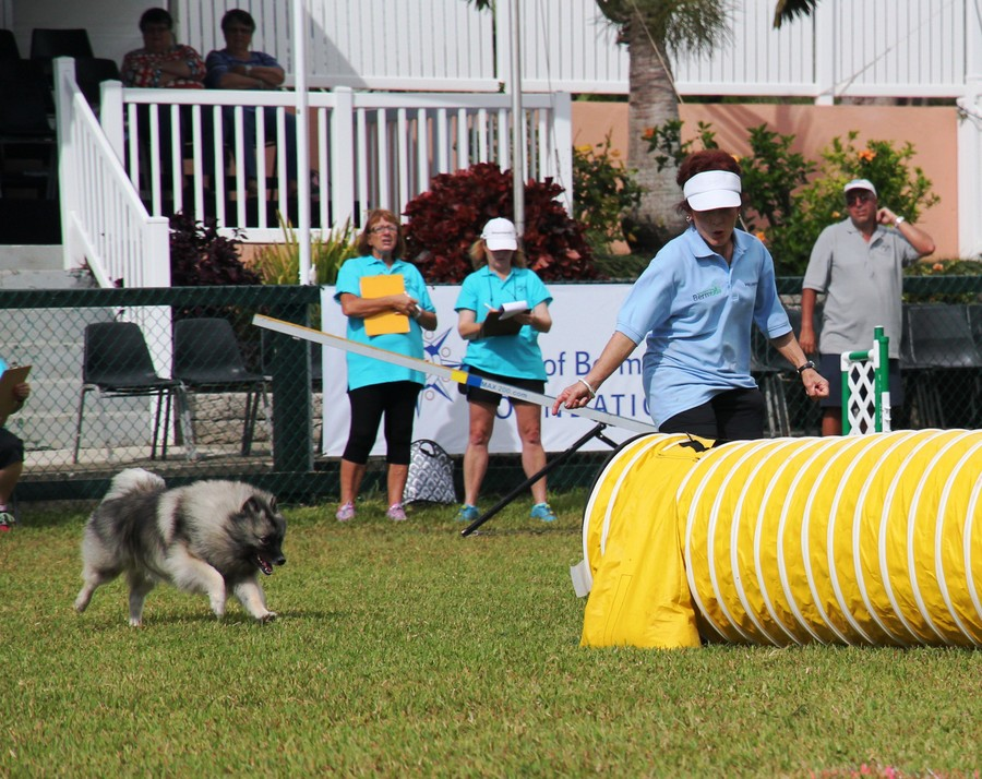 Dog-Agility-at-2016-ag-show-bermuda-15