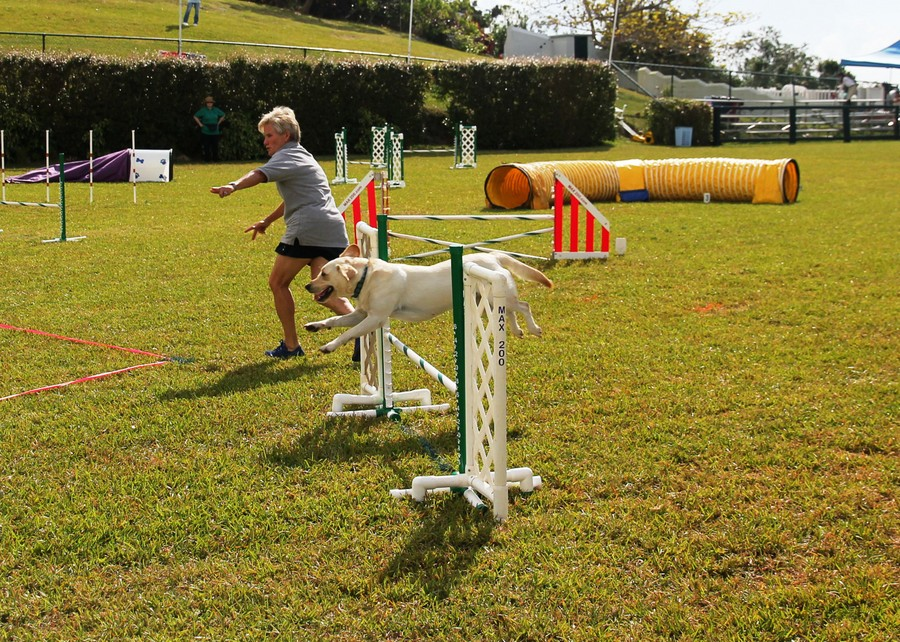 Dog-Agility-at-2016-ag-show-bermuda-3