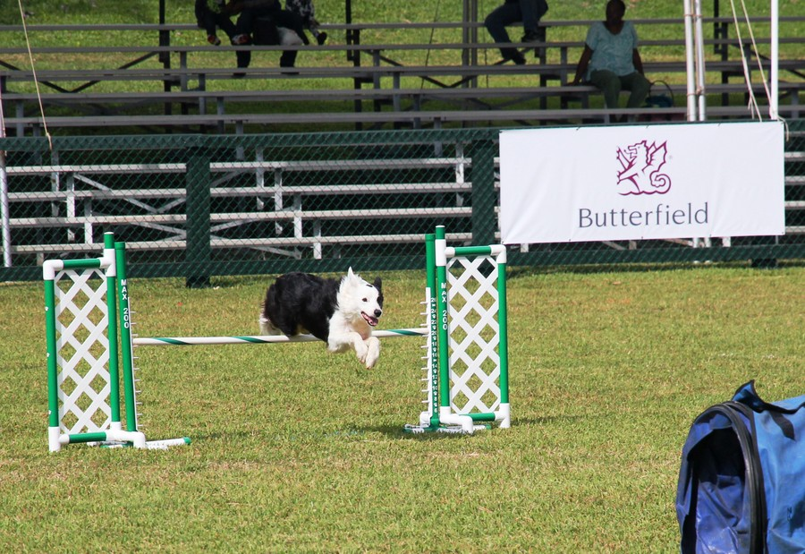Dog Agility at 2016 ag show bermuda (4)