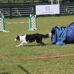 Dog Agility at 2016 ag show bermuda (5)