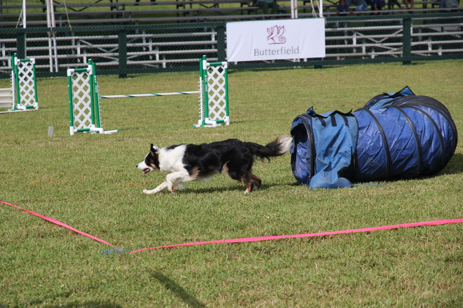 Dog-Agility-at-2016-ag-show-bermuda-5