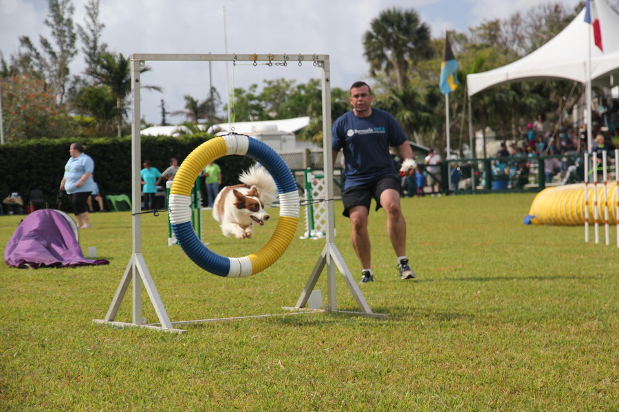 Dog Agility at 2016 ag show bermuda (7)