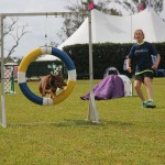 Dog Agility at 2016 ag show bermuda (9)