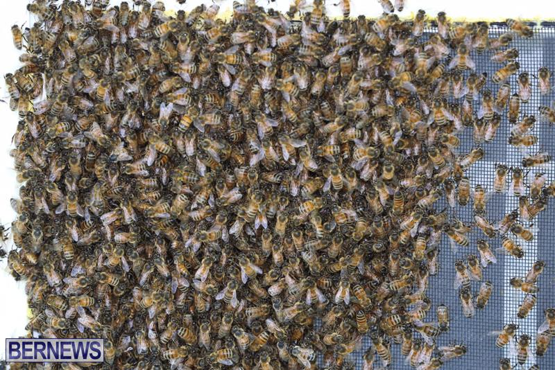 bees bermuda generic 32414 (5)