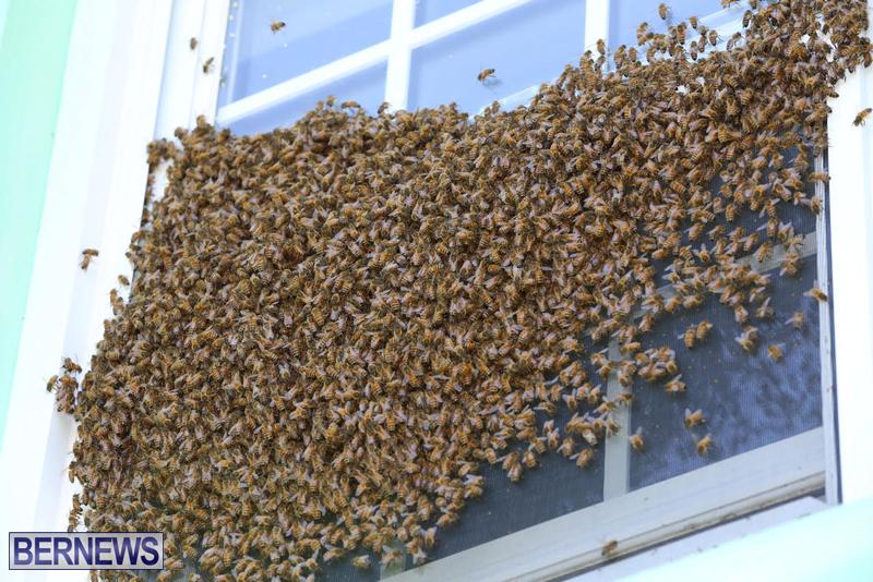 bees bermuda generic 32414 (7)