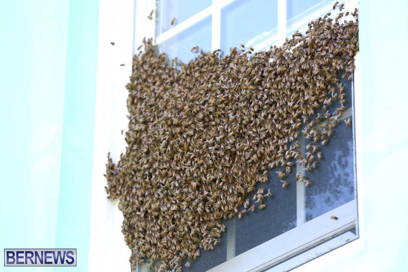 bees bermuda generic 32414 (9)