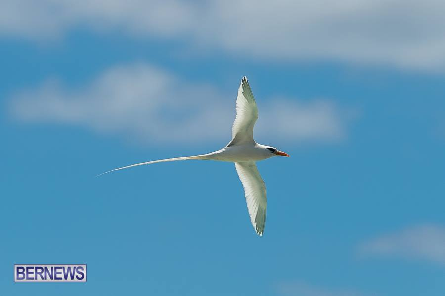 583 longtail Bermuda Generic June 2016