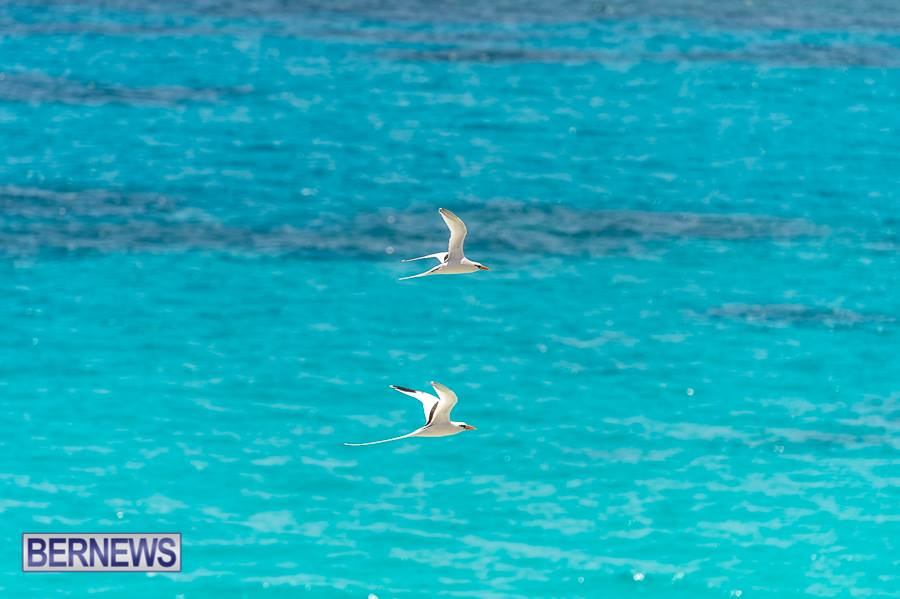 666 pair of longtails Bermuda Generic June 2016