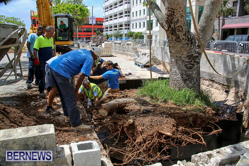 Tree-Moving-At-City-Hall-Parking-Lot-Bermuda-June-11-2016-16