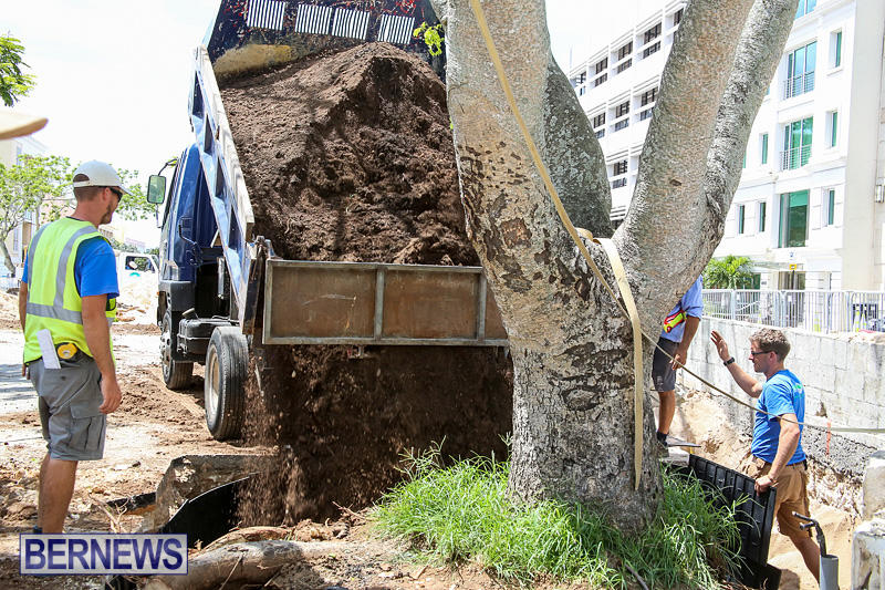Tree-Moving-At-City-Hall-Parking-Lot-Bermuda-June-11-2016-17