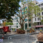 Tree Moving At City Hall Parking Lot Bermuda, June 11 2016-2