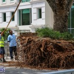 Tree Moving At City Hall Parking Lot Bermuda, June 11 2016-3