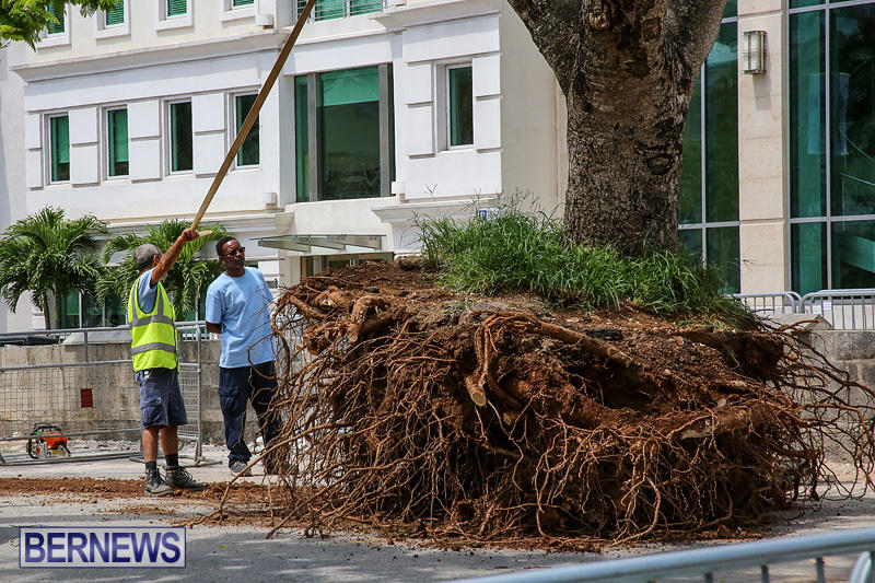 Tree-Moving-At-City-Hall-Parking-Lot-Bermuda-June-11-2016-3