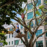 Tree Moving At City Hall Parking Lot Bermuda, June 11 2016-4