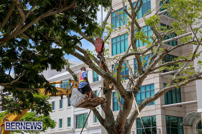 Tree-Moving-At-City-Hall-Parking-Lot-Bermuda-June-11-2016-4