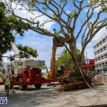 Tree Moving At City Hall Parking Lot Bermuda, June 11 2016-5