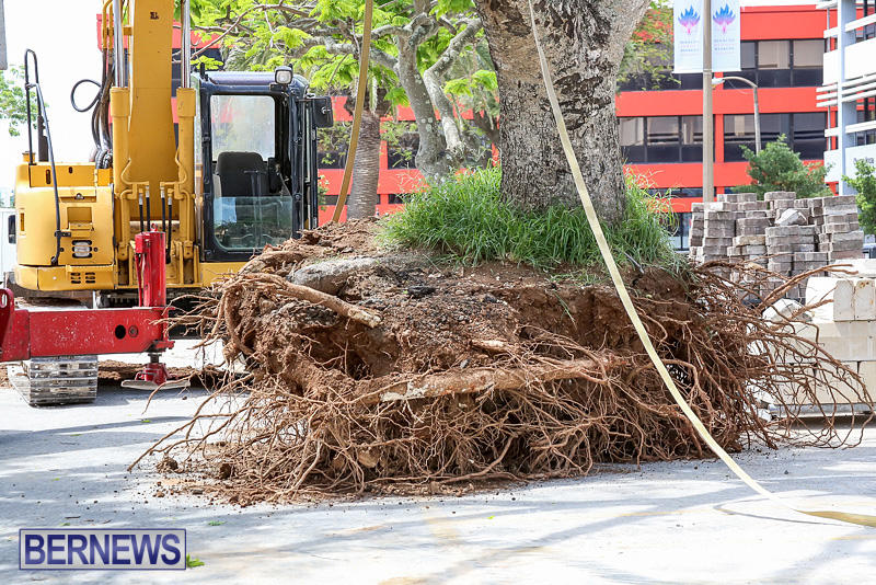 Tree-Moving-At-City-Hall-Parking-Lot-Bermuda-June-11-2016-6