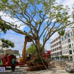 Tree Moving At City Hall Parking Lot Bermuda, June 11 2016-7