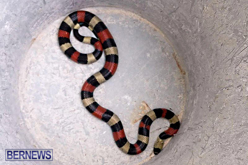 Live Snake Somerset Bermuda, July 6 2016