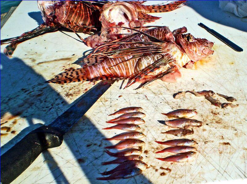 Lionfish gut contents Bermuda August 25 2016