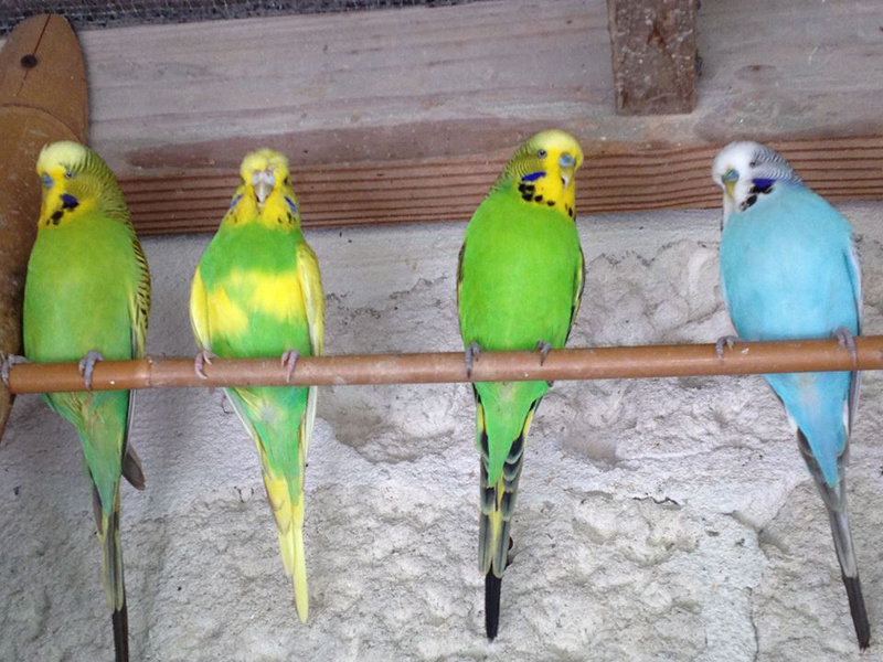 Budgies Bermuda September 27 2016 1