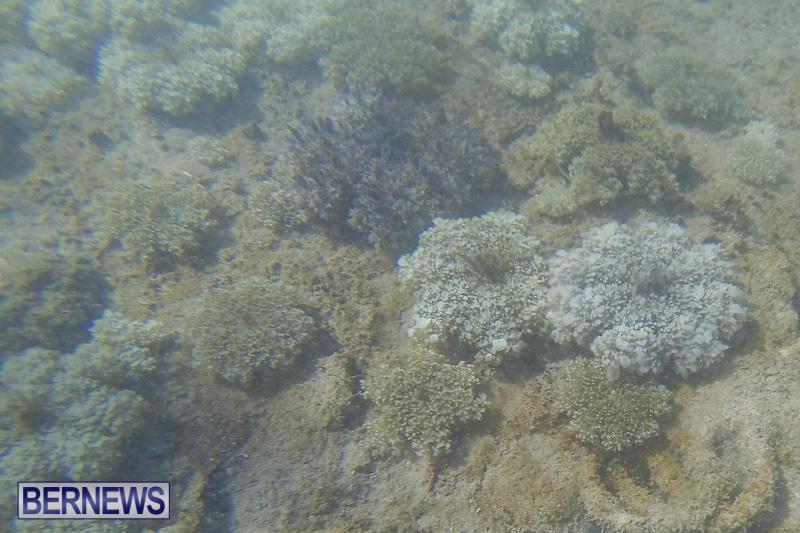 Cassiopeia-Jellyfish-Bermuda-September-15-2016-25