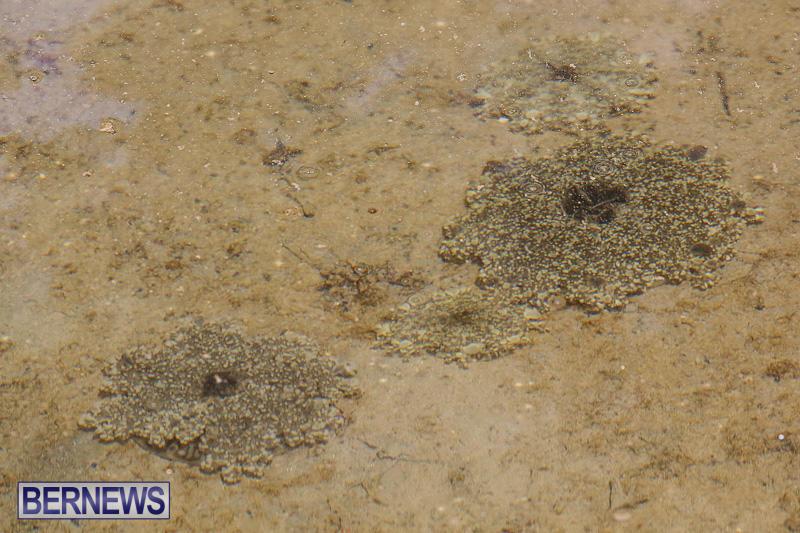Cassiopeia-Jellyfish-Bermuda-September-15-2016-4