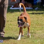 Bermuda Kennel Club Dog Show, October 23 2016-104