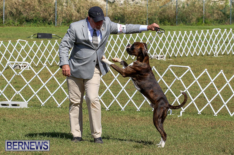 Bermuda-Kennel-Club-Dog-Show-October-23-2016-107