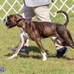 Bermuda Kennel Club Dog Show, October 23 2016-110