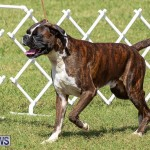 Bermuda Kennel Club Dog Show, October 23 2016-119