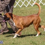 Bermuda Kennel Club Dog Show, October 23 2016-126