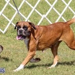 Bermuda Kennel Club Dog Show, October 23 2016-128